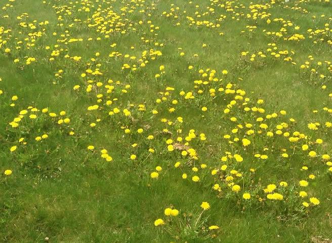 Get control of dandelions