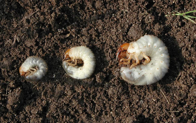 Get control of grubs in your lawn