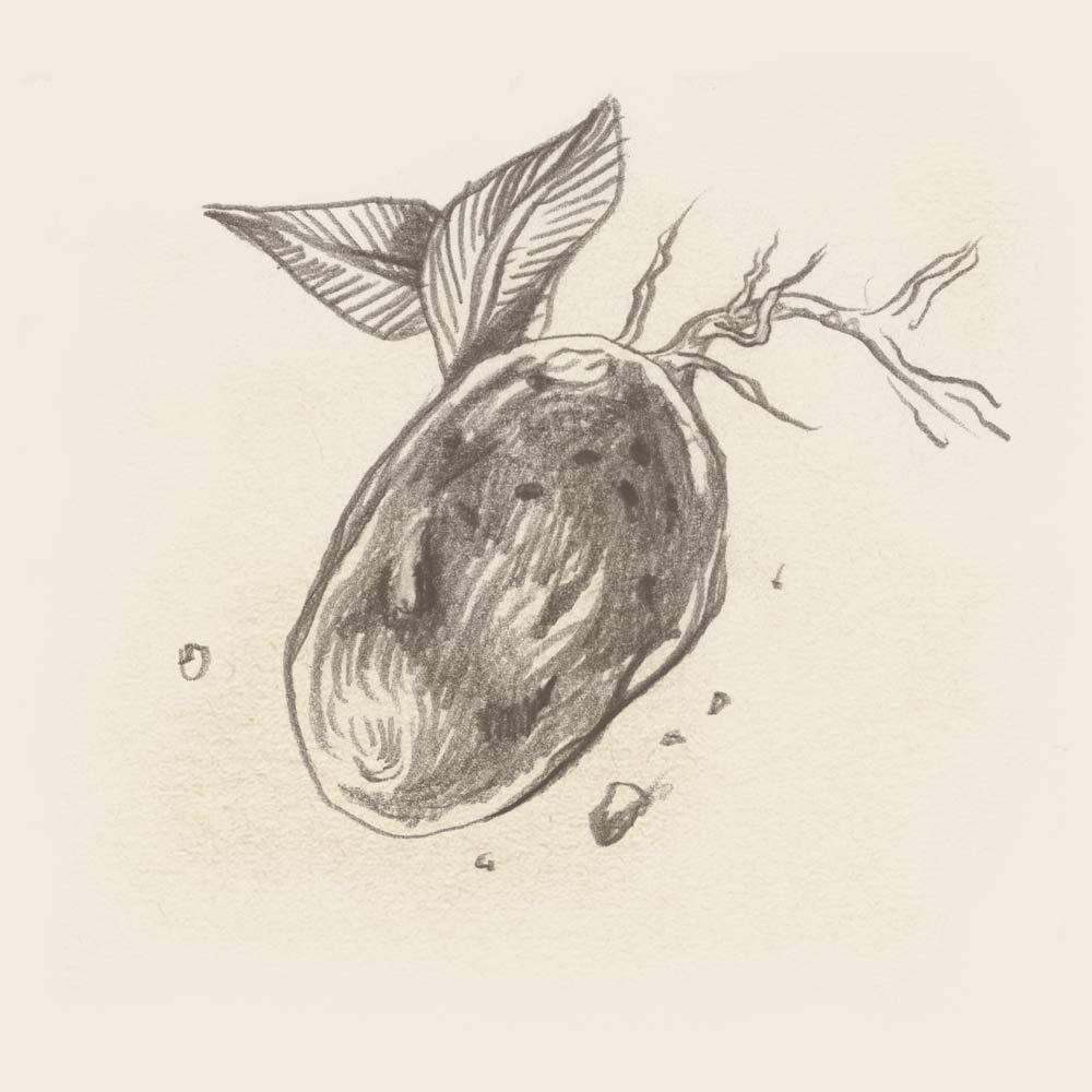 The Potato - Illustration