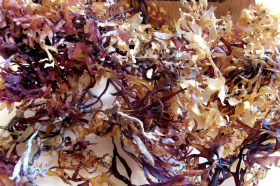 Wildcrafted Sea Moss