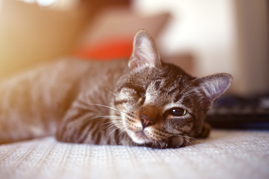 you can help by adopting a blind cat