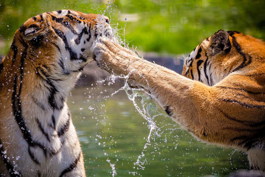 you can help big cats by donating to conservation charities