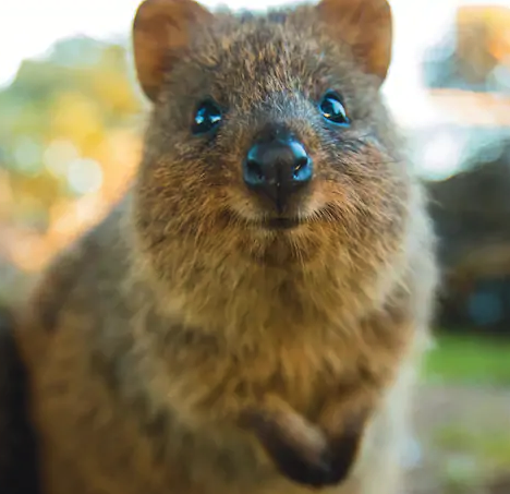 a quokka because they're always smiling and friendly.