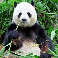 panda bear. Eat, sleep, relax & repeat.