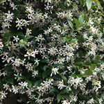 Jasmine... the smell of spring time in Savanah.  #savannahrealestate #historicsavannah #dreamhome #savannahstrong