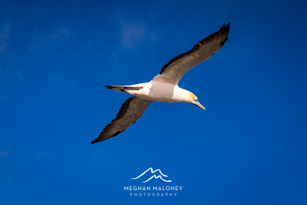 Muriwai Gannet in Flight