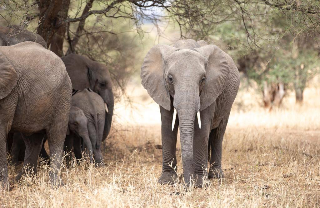 Elephants Tanzania Tour