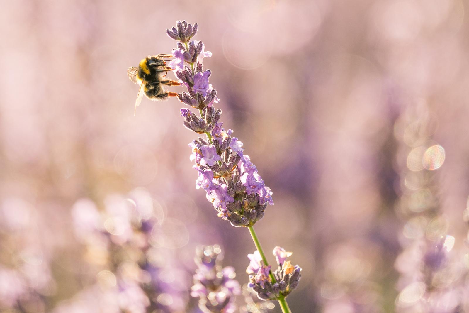 Bee on lavender, Alphra Lavender Waikato NZ 300mm lens