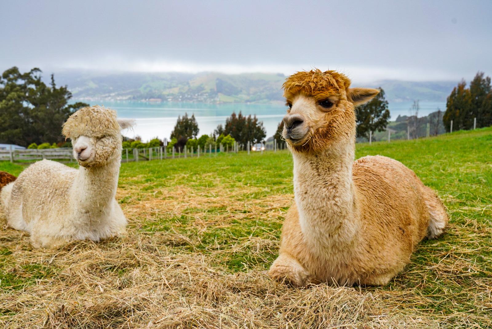 Shamarra Alpacas Akaroa