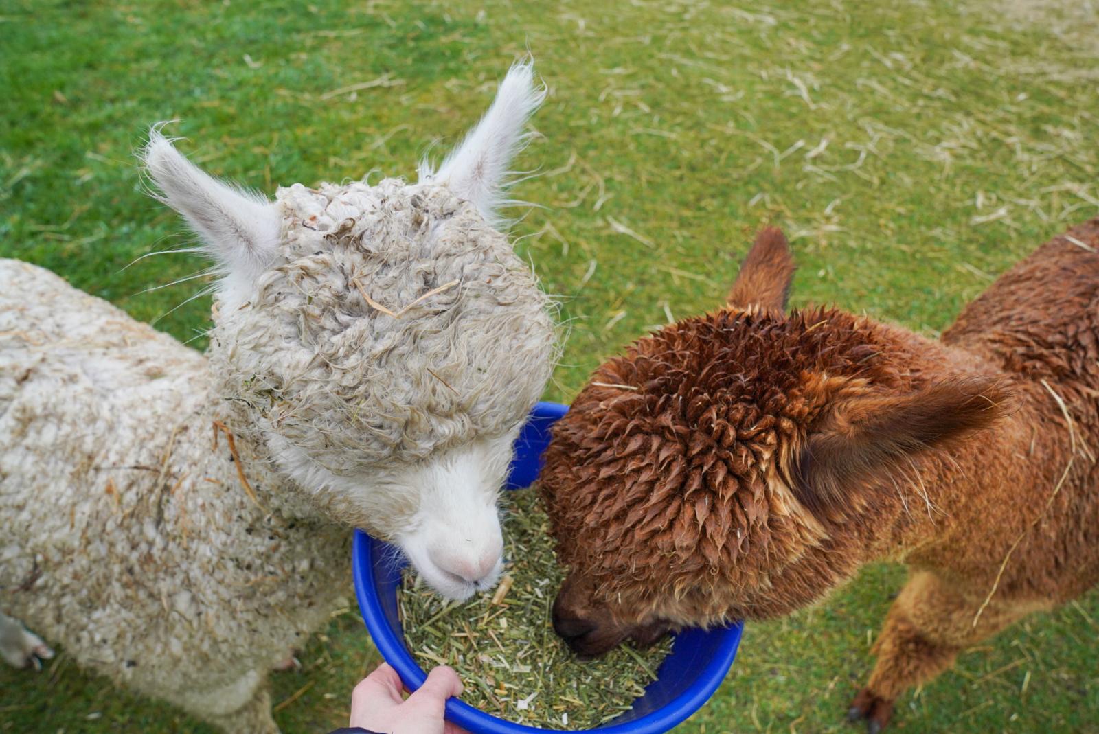Feeding Shamarra Alpacas