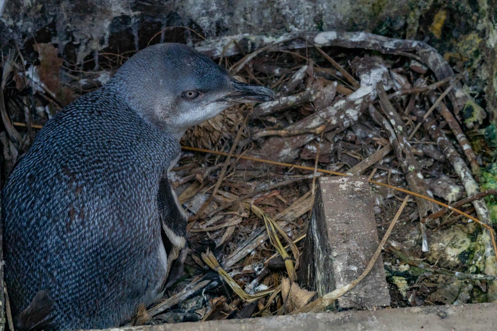 Little Flippered Penguin Pohatu Penguins