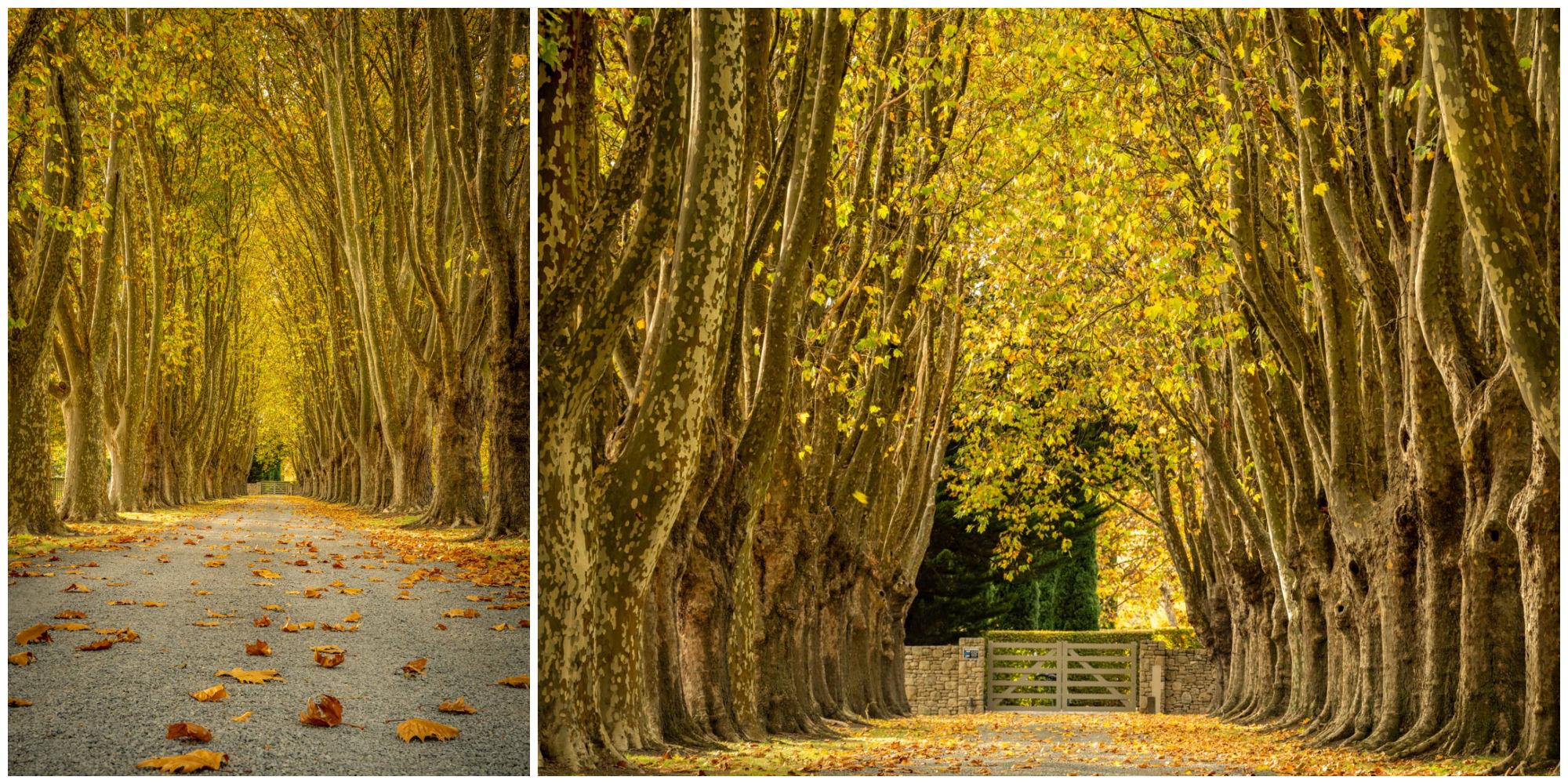 Golden Trees Autumn Hawkes Bay