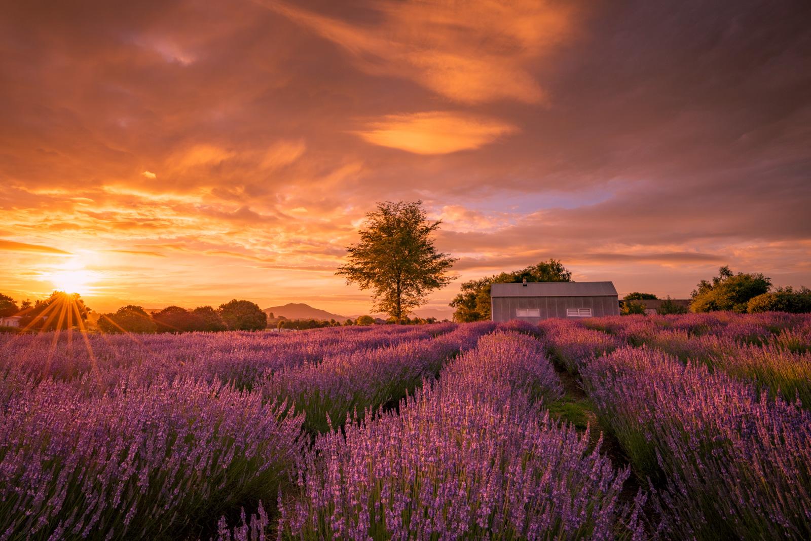 Lavender Farm Sunset