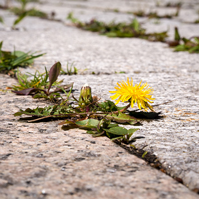 Weeds in paving