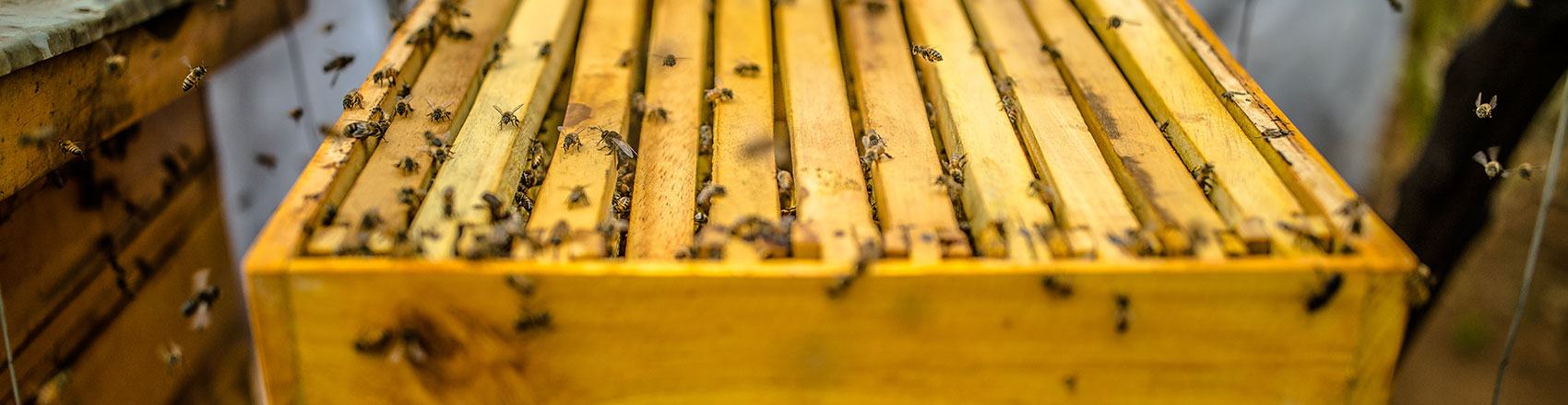 A yellow beehive frame covered in bees entering and exiting their hive.