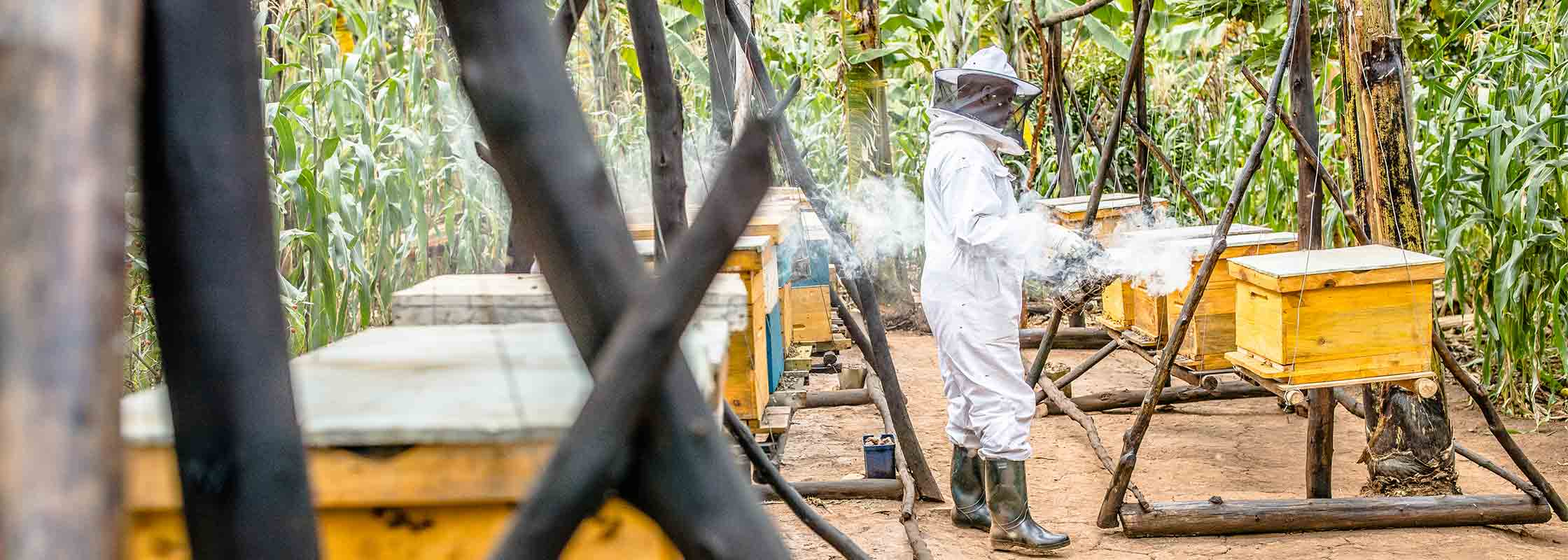 Bee keeper smoking out hives in a forested area