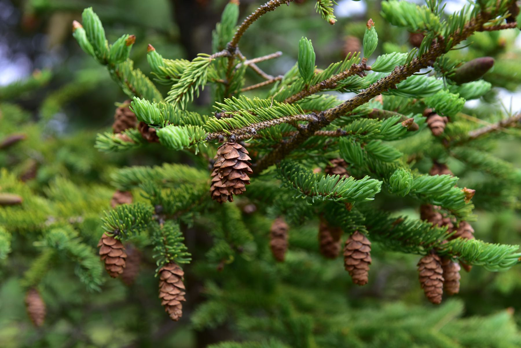 Pine cone on pine tree in the forest