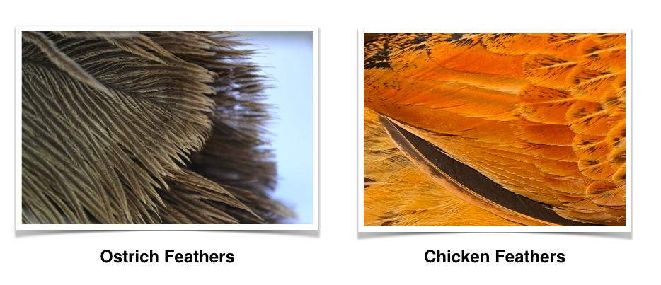 ostrich vs chicken feathers