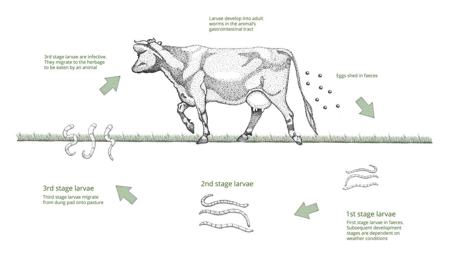 Gastrointestinal Worms in Cattle