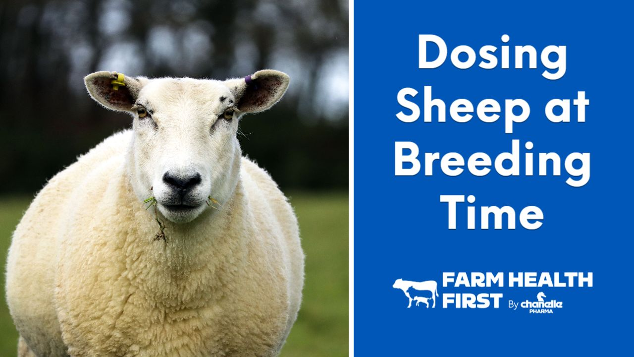 Dosing Sheep Around Breeding