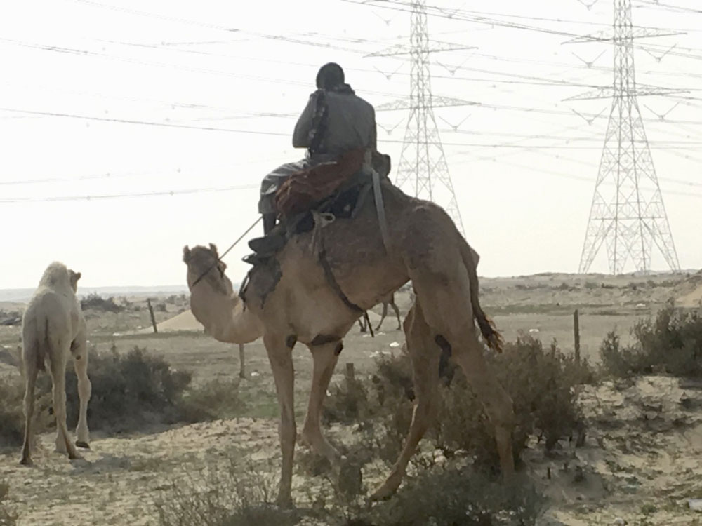 Camel ride on transmission grid lanscape