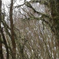 Damaged koa trees by the koa moth