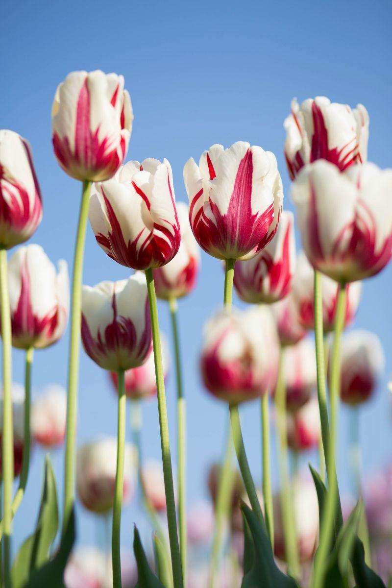 tulips in field