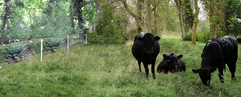 Cattle grazing at Highcliffe Castle