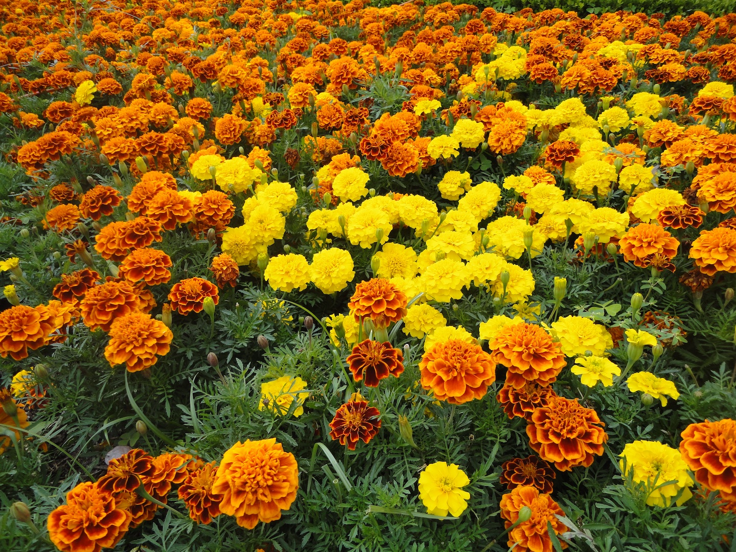 Marigolds are used for both Canal Pixan and Day of the Dead altars.