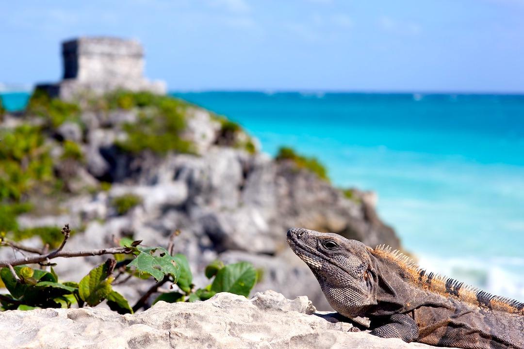 Iguana in the mayan ruins.