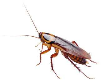 Close up of a cockroach