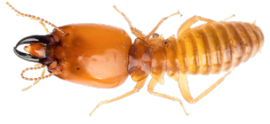 Close up of a termite