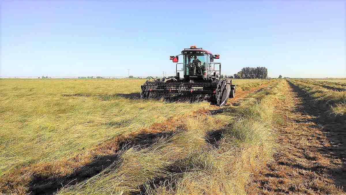 Swathing hay