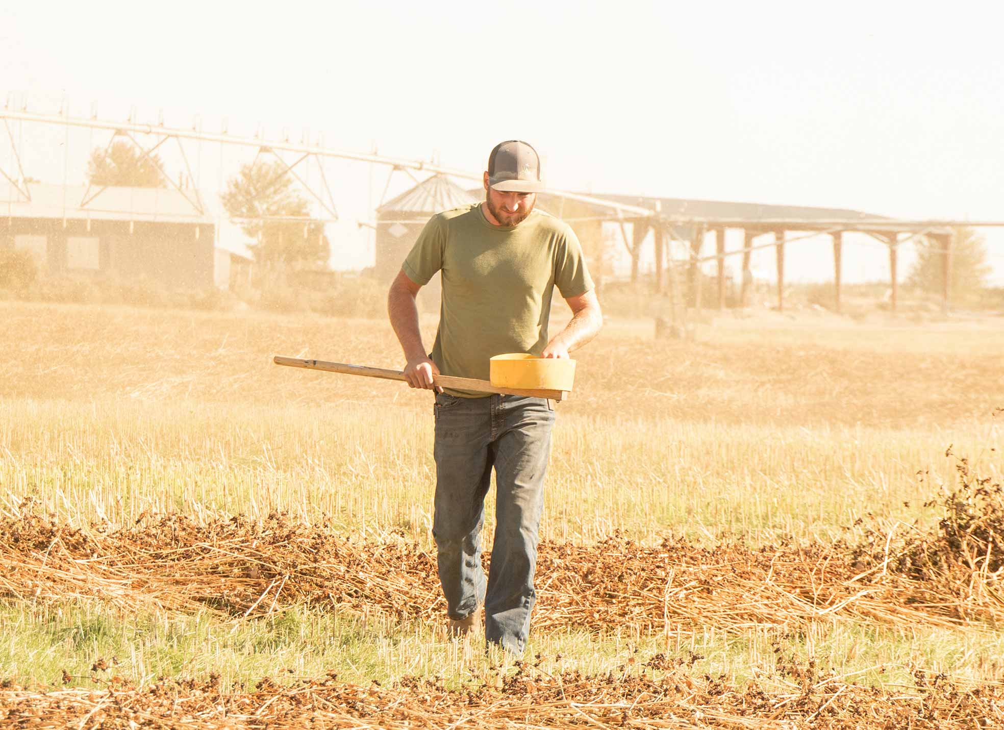 Victory Ag and Victory Farms team member checking grain in the field.