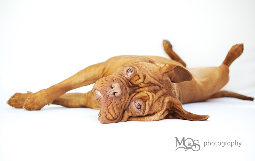 This is Musket the french Mastiff. An absolute dream to photograph, totally relaxed and just look at those big sad eyes!