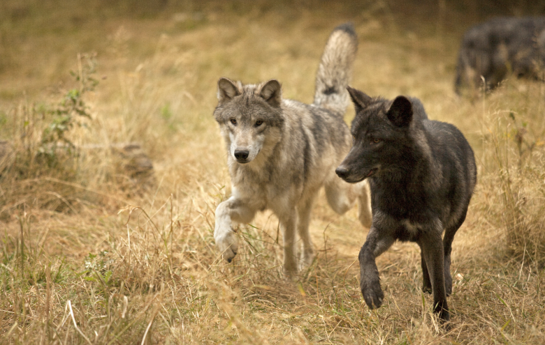 A pair of canines walking through grass.