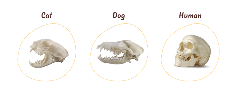 A skull of a cat, a dog and a human next to each other.