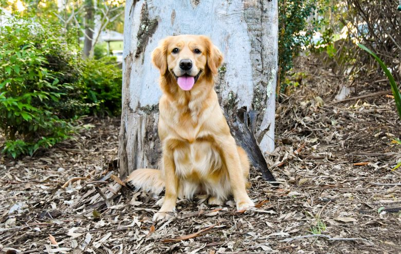 Happy and healthy looking Golden Retriever in front of a big tree.