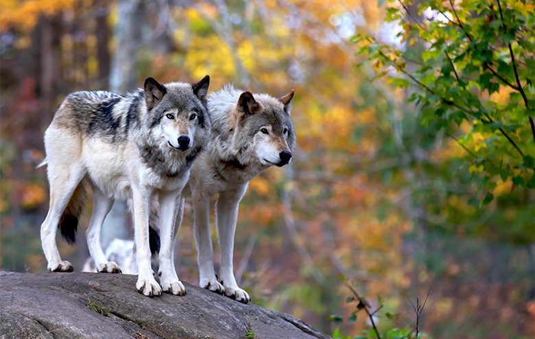 Wolves on a rock in the forrest.