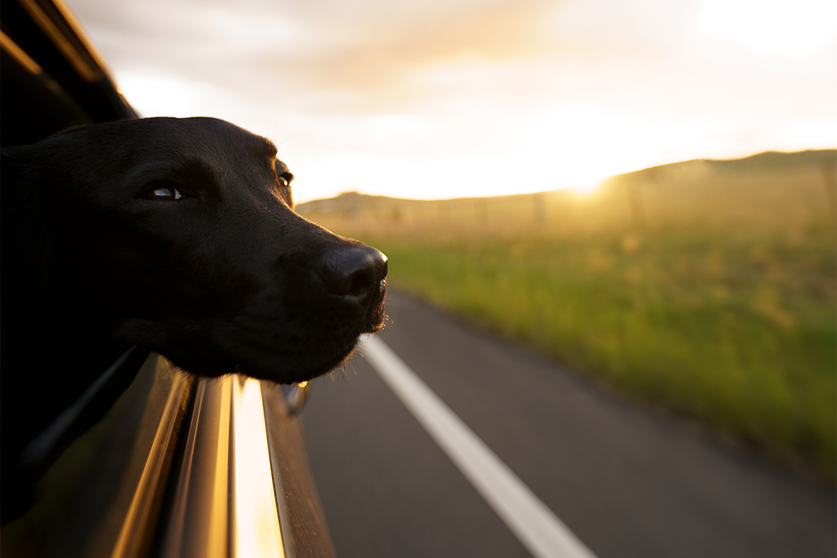 Close up of a dog leaning his head out of the window of a driving car.