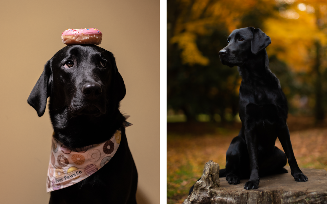 Two portraits of a black labrador. Half portrait of a dog with a donut in front of a beige background on the left. Full portrait of the same dog on a tree stump on the right.