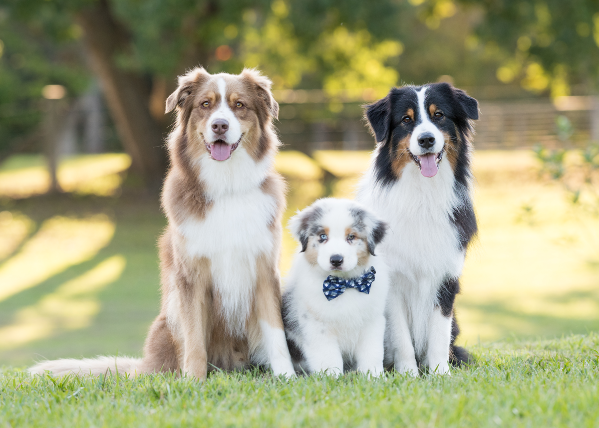 Portrait of two adult and one puppy dog  with a bow tie on grass.