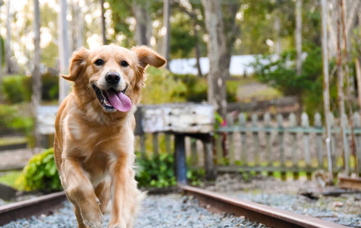 Golden Retriever on train tracks running towards the camera.