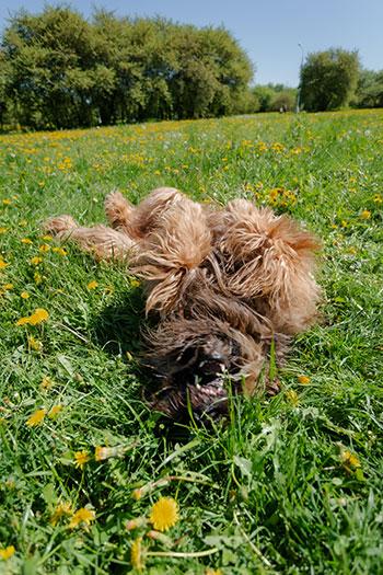 Doggo rolling in field of grass