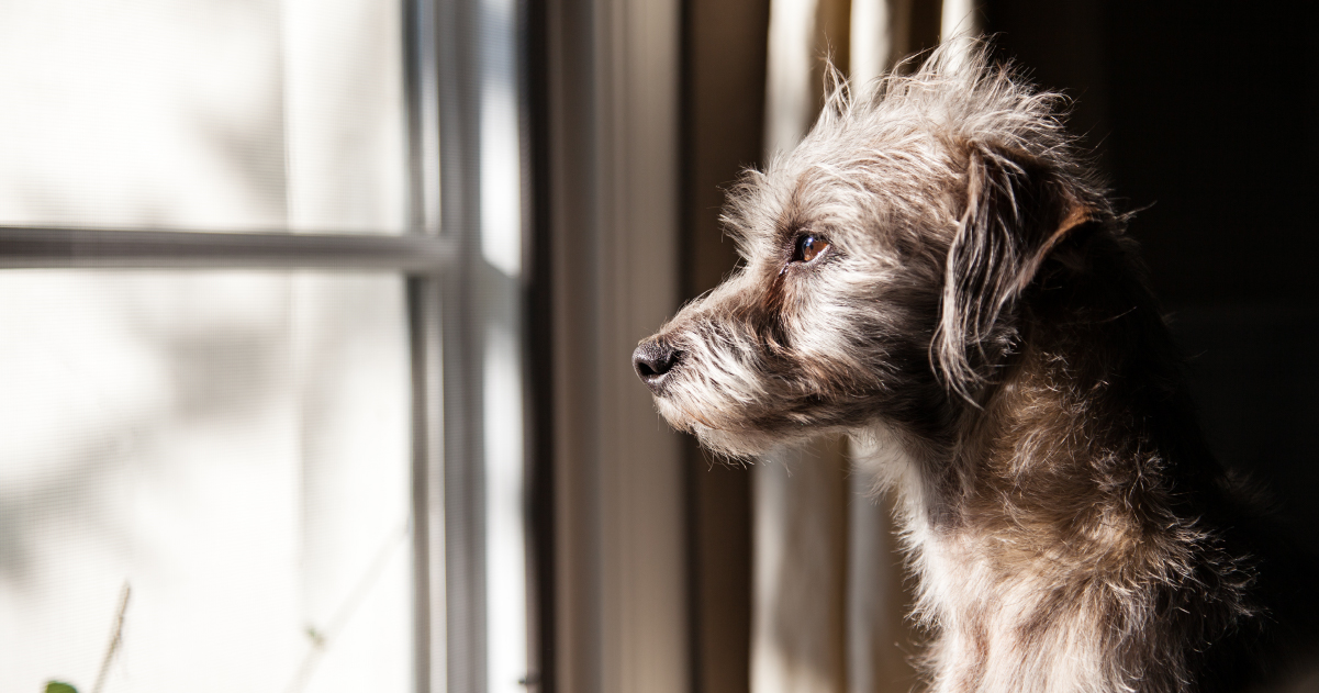 Sad dog looking out of window