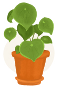 peperomia plant illustration
