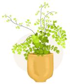 maidenhair fern plant illustration