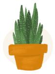 zebra cactus plant illustration