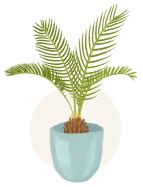 sago palm plant illustration
