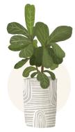 fiddle leaf fig plant illustration